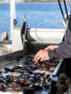 harvest-road-mussels-in-tray